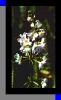 Hottonia-Blume
